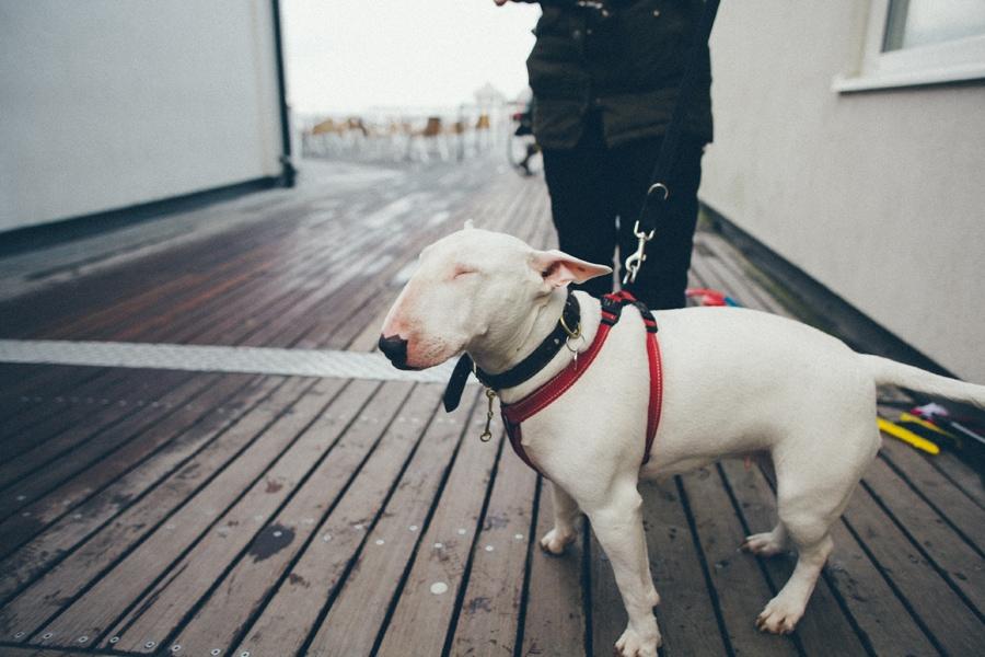 british terrier dog